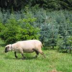 Shropshire Schafe Christbaukulturen Thurgau und St.Gallen